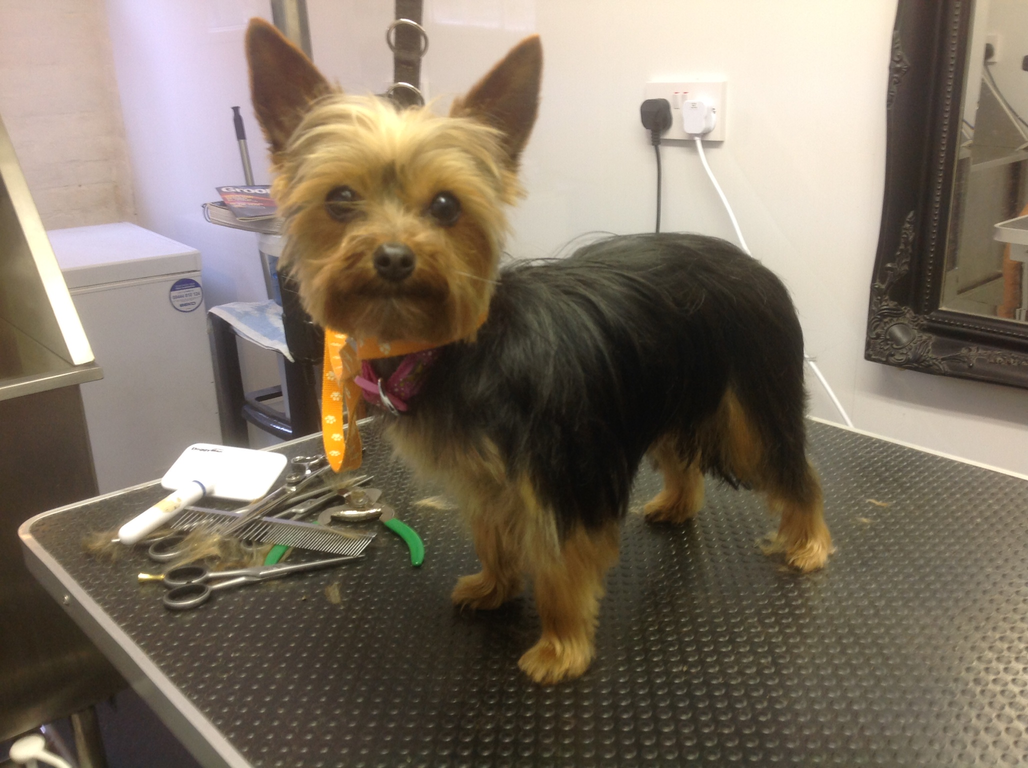 Pictures Of Cairn Terrier Grooming Before And After Kidskunst Info
